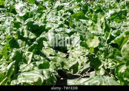 Betterave vert tops sur le domaine agricole, des betteraves à sucre sur le terrain. close-up. Banque D'Images