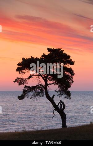 Le pin sylvestre (Pinus sylvestris) arbre solitaire à l'aube, silhouetté contre le ciel du matin. Havaeng, Skane, Sweden Banque D'Images