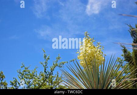 Yucca dans le ciel Banque D'Images