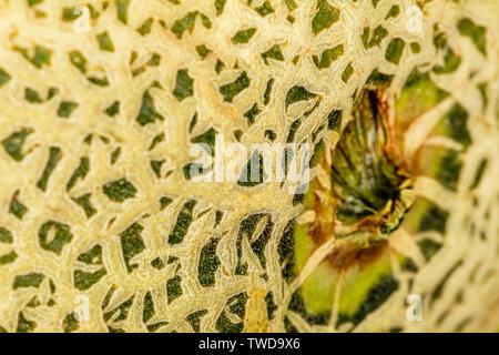 Une macro d'une peau à l'étrave de cantaloup coupé. La peau a beaucoup de détails, mais la profondeur de champ est peu profonde. La couleur est forte. Banque D'Images