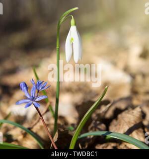 Les premières fleurs de printemps, les perce-neige dans une forêt ensoleillée, carré petit Banque D'Images