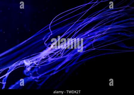 Close-up, Méduse Méduse en aquarium avec éclairage au néon. Méduse est des polypes marins avec un bell- gélatineuse ou corps en forme de t Banque D'Images