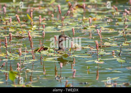 Tachybaptus ruficollis grèbe esclavon, commune, sur les eaux calmes de la rivière, à côté de la plantes aquatiques typiques de la région Banque D'Images