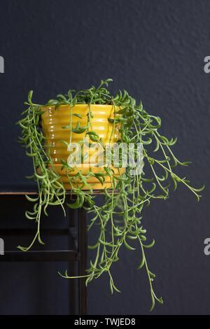 Un Senecio Radicans 'chaîne de bananes' plante. Banque D'Images