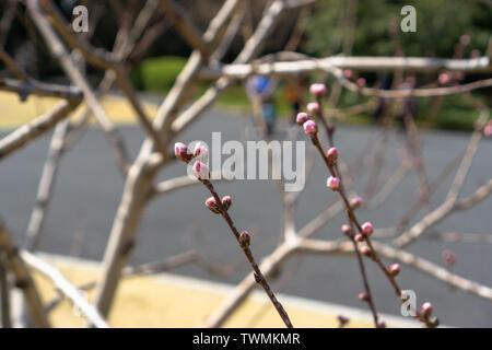 Les fleurs de cerisier s'apprêtaient à floraison complètement lorsque j'ai visité en mars 2019 Imperial Gardens