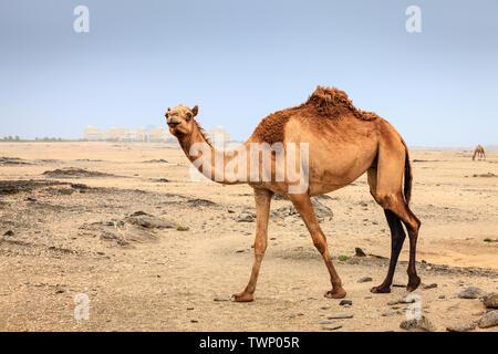 Le chameau sauvage dans un désert près de Mascate en Oman Banque D'Images