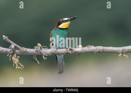 Bee eater tue un wasp (Merops apiaster)