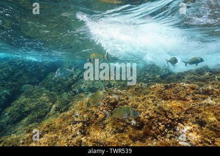 Poisson Dorade royale avec des vagues se brisant sur rock sous l'eau à la mer Méditerranée, Côte d'Azur, France Banque D'Images