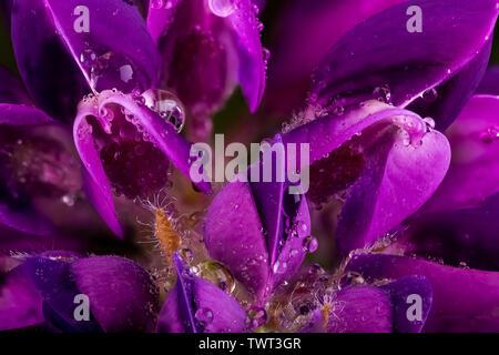 Macro fleur Lupin mauve en pleine floraison. Tout près des gouttelettes d'eau sur les pétales de fleurs Banque D'Images
