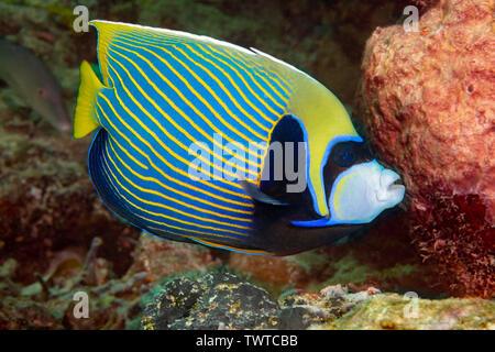 L'Empereur Pomacanthus imperator, poissons-anges, peut produire un bruit de cognement lorsqu'on les dérange, Yap, Micronésie. Banque D'Images