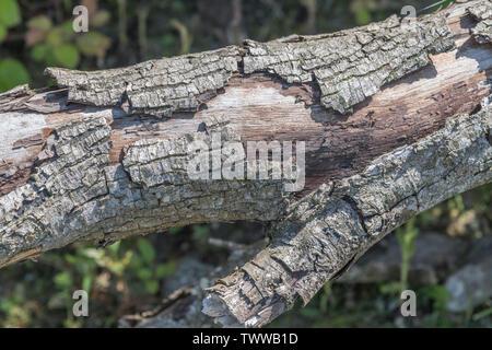 Peler l'écorce du tronc d'arbre tombé. Métaphore chutent, venant de l'autre, d'être mis à nu, faiblesse, point faible. Banque D'Images