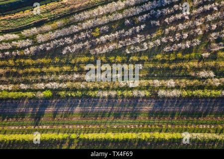 Rangées de cerisiers dans un verger au printemps, vue aérienne
