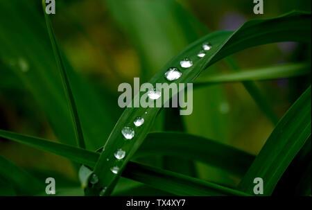 Rangée de gouttes d'eau sur brin d'herbe Banque D'Images