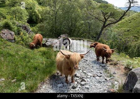 Highland cattle, UK Banque D'Images