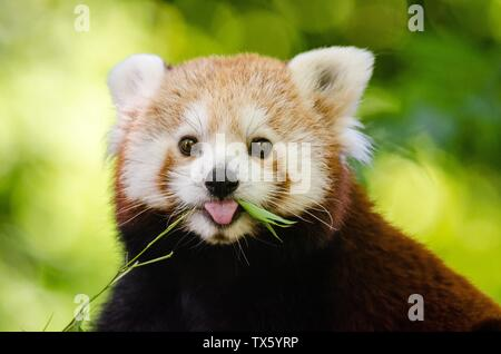 Le panda rouge, Ailurus fulgens, le raton laveur et les familles d'ours Banque D'Images