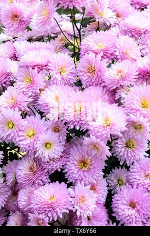 Photo de cerisiers en fleurs blanches et roses. Vue de dessus, télévision lay, copiez l'espace. Contexte Au printemps et en été. De belles fleurs de mariage pour l'arrière-plan Banque D'Images