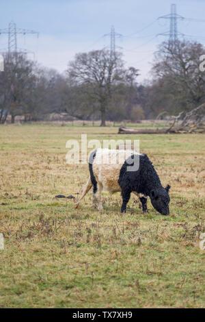 Ceinture gc avec des cheveux longs et manteau caractéristique large ceinture blanche, une race traditionnelle écossaise de bovins à viande dans un champ en Wisley, Surrey