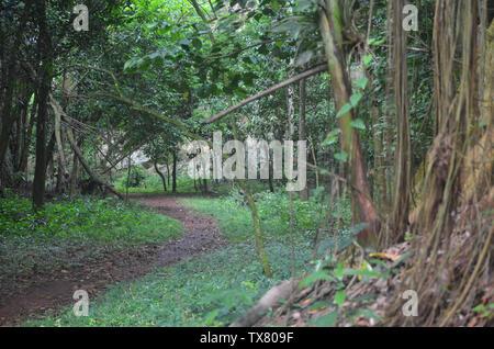 Chemin forestier dans la collines karstiques de Limones de Tuabaquey, une réserve naturelle de Cuba Banque D'Images