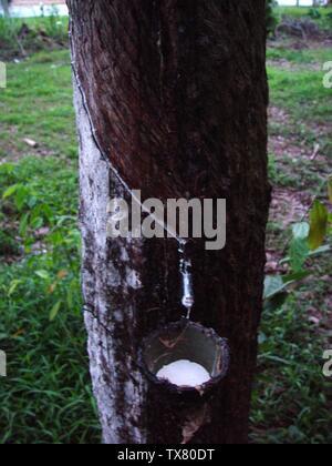 Latex recueilli à partir d'un arbre En Caoutchouc Para, Hevea brasiliensis. Plantation de caoutchouc à Phuket, Thaïlande.; été 2004 date QS:P,+2004-00-00T00:00:00Z/9,P4241,Q40720564; travaux Propres; AxelBoldt; Banque D'Images