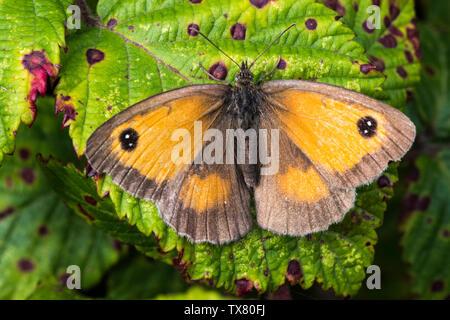 Gatekeeper papillon sur feuille bramble tacheté, ailes ouvertes Banque D'Images