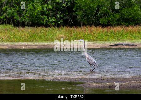 Des profils Grand Héron (Ardea herodias) debout sur le bord d'un marais de Floride. Un AASP alligator est allongé sur l'autre rive. Banque D'Images