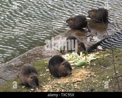 Coypus nourri par les gens sous le pont du canal de Chelles, Seine-et-Marne, France Francais: Ragondins nourrit par les rivières sous le pont du canal de Chelles, Seine-et-Marne; 31 janvier 2010; travaux Propres; Tangopaso;