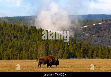 L'échauffement de bison en Geyser Basin, Parc National de Yellowstone