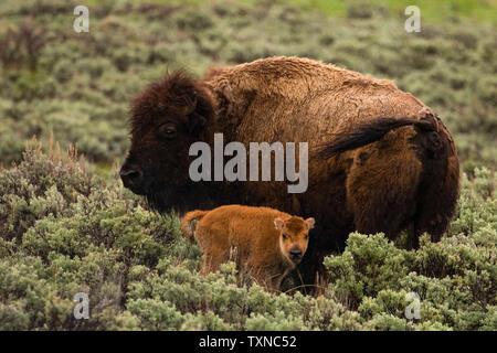 Le bison et le veau en Lamar Valley, le Parc National de Yellowstone, Wyoming, USA
