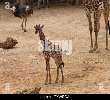 Rotem, l'âge d'un mois de l'Afrique du Sud une femme Girafe (Giraffa camelopardalis giraffa veau) promenades dans la section africaine du Zoo Biblique de Jérusalem à Jérusalem, Israël, le 24 mars 2016. Elle est l'un des deux veaux nouveau-nés au zoo dans le dernier mois. Sa naissance marque la troisième génération de Jérusalem né girafes dont les grands-parents ont été achetés dans une vente aux enchères en Afrique du Sud. Photo par Debbie Hill/ UPI Banque D'Images