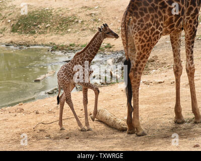 Adis, un homme âgé de deux semaines en Afrique du Sud veau Girafe (Giraffa camelopardalis giraffa) est proche de sa mère, dans l'Akea section africaine du Zoo Biblique de Jérusalem à Jérusalem, Israël, le 24 mars 2016. Il est l'un des deux veaux nouveau-nés au zoo dans le dernier mois. Sa naissance marque la troisième génération de Jérusalem né girafes dont les grands-parents ont été achetés dans une vente aux enchères en Afrique du Sud. Photo par Debbie Hill/ UPI Banque D'Images