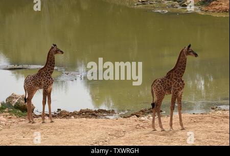 L'Afrique du Sud nouveau-né deux veaux Girafe (Giraffa camelopardalis giraffa) stand par un étang dans la section africaine du Zoo Biblique de Jérusalem à Jérusalem, Israël, le 24 mars 2016. Les veaux, Adis, un homme âgé de deux semaines, et Rotem, une femme âgée d'un mois, ont tous deux été engendré par Rio. Ils sont la troisième génération de Jérusalem né girafes dont les grands-parents ont été achetés dans une vente aux enchères en Afrique du Sud. Photo par Debbie Hill/ UPI Banque D'Images