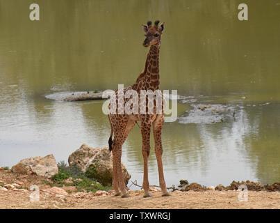 Adis, un homme âgé de deux semaines en Afrique du Sud veau Girafe (Giraffa camelopardalis giraffa) se tient près d'un étang dans la section africaine du Zoo Biblique de Jérusalem à Jérusalem, Israël, le 24 mars 2016. Il est l'un des deux veaux nouveau-nés au zoo dans le dernier mois. Sa naissance marque la troisième génération de Jérusalem né girafes dont les grands-parents ont été achetés dans une vente aux enchères en Afrique du Sud. Photo par Debbie Hill/ UPI Banque D'Images