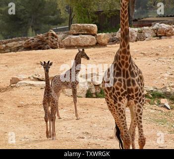 L'Afrique du Sud nouveau-né deux veaux Girafe (Giraffa camelopardalis giraffa) marche dans la section africaine du Zoo Biblique de Jérusalem à Jérusalem, Israël, le 24 mars 2016. Les veaux, Adis, un homme âgé de deux semaines, et Rotem, une femme âgée d'un mois, ont tous deux été engendré par Rio. Ils sont la troisième génération de Jérusalem né girafes dont les grands-parents ont été achetés dans une vente aux enchères en Afrique du Sud. Photo par Debbie Hill/ UPI Banque D'Images