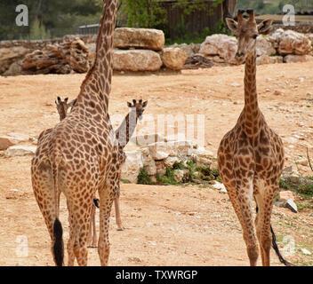L'Afrique du Sud nouveau-né deux veaux Girafe (Giraffa camelopardalis giraffa) à pied avec leurs parents dans la section africaine du Zoo Biblique de Jérusalem à Jérusalem, Israël, le 24 mars 2016. Les veaux, Adis, un homme âgé de deux semaines, et Rotem, une femme âgée d'un mois, ont tous deux été engendré par Rio. Ils sont la troisième génération de Jérusalem né girafes dont les grands-parents ont été achetés dans une vente aux enchères en Afrique du Sud. Photo par Debbie Hill/ UPI Banque D'Images