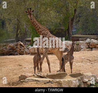 L'Afrique du Sud nouveau-né deux veaux Girafe (Giraffa camelopardalis giraffa) stand avec dans la section africaine Akea du Zoo Biblique de Jérusalem à Jérusalem, Israël, le 24 mars 2016. Les veaux, Adis, un homme âgé de deux semaines, et Rotem, une femme âgée d'un mois, ont tous deux été engendré par Rio. Ils sont la troisième génération de Jérusalem né girafes dont les grands-parents ont été achetés dans une vente aux enchères en Afrique du Sud. Photo par Debbie Hill/ UPI Banque D'Images