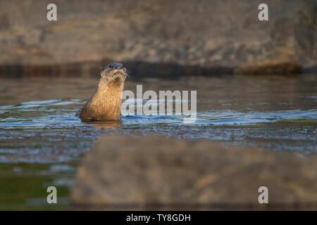 L'image de la loutre à revêtement lisse (Cerdocyon perspicillata) a été prise dans la rivière Chambal, Rajasthan, Inde