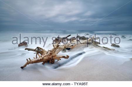 Un grand morceau de bois flotté (peut-être un vieux Milkwood tree) se trouve échoué sur les rochers et le sable sur le rivage de la plage de Southport. Littoral KZN Banque D'Images