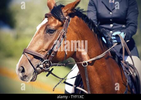 Sur une baie magnifique cheval avec une tache blanche sur son front et une crinière sombre, vêtu d'une patte et de munitions pour les sports équestres, est assis un rider dre Banque D'Images