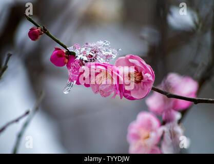 Un printemps précoce de la neige en 2019 rend l'ouverture déjà plus enchanteur, fleurs de prunier et le printemps met en lumière froide son arrogance et la pureté. Banque D'Images