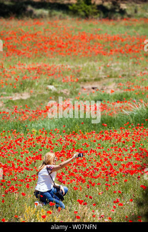 Woman taking a photograph selfies self portrait dans un champ rempli de coquelicots champ de coquelicots fleurs sauvages Banque D'Images