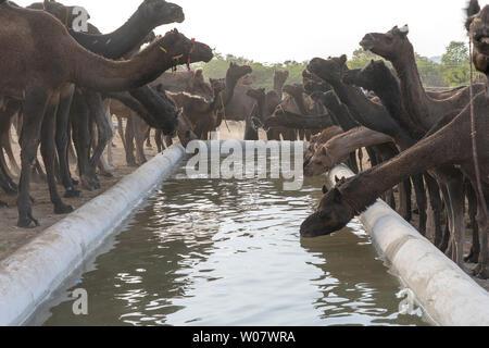 Les chameaux boire de l'eau dans le désert du Thar au cours de l'assemblée annuelle de chameau de Pushkar juste près de la ville sainte de Pushkar, Rajasthan, Inde. Ce salon est le plus grand commerce de chameau fa Banque D'Images