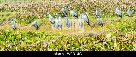 Ibis noir indien, espèce d'oiseaux d'eau, repéré dans un étang rempli de jacinthe d'eau. Il s un long pattes à tête noire et les échassiers nourrissent habituellement Banque D'Images