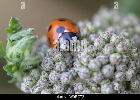 Image en gros plan d'un Coccinella 7-punctata (Sept-spot ladybird) sur l'Achillea Banque D'Images