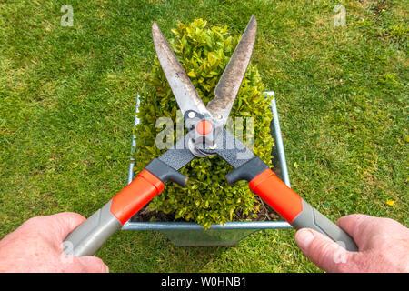 Près d'un coup de frais généraux POV man's hands en utilisant une paire de sécateur pour couper une petite boîte d'une haie, poussant dans un pot carré sur un jardin/cour pelouse. Banque D'Images