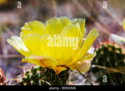 Opuntia polyacantha; Pricklypear; Cactus Cactaceae; Cactus, fleurs sauvages en fleurs, le centre du Colorado, USA