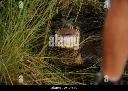 Dans un marais près de Alligator La Nouvelle-Orléans, Louisiane Banque D'Images