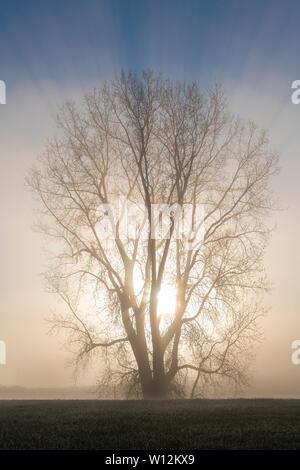 Lever du soleil et d'arbres cottonwood (Populus deltoides) enveloppée de brouillard, début mai, E USA, par Dominique Braud/Dembinsky Assoc Photo Banque D'Images