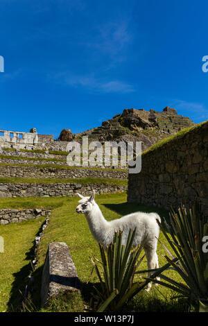 L'alpaga à Machu Picchu, Urubamba, région de Cuzco, Pérou, Amérique du Sud Banque D'Images