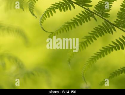 Vert forêt de fougères Banque D'Images