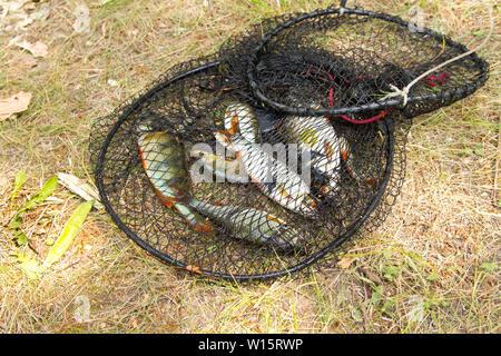 Concept de pêche. Les poissons d'eau douce dans la cage Banque D'Images